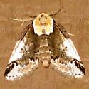 Eyed Baileya Moth - Baileya ophthalmica