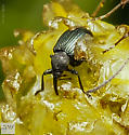 Coleoptera. Brentidae? - Omphalapion hookerorum