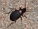 beetle - Chlaenius