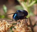 Calliphoridae sp - Chrysomya megacephala - male