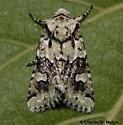 Lacinipolia viridifera 10419 female? - Lacinipolia viridifera - female