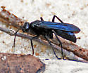 Wasp digging in the sand - Anoplius