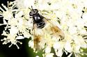 Fly - Pipiza