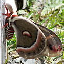 large moth or butterfly - Hyalophora cecropia - male