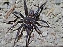 Antrodiaetus unicolor, a Folding Door spider