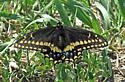 Black Swallowtail hilltopping on Spirit Mound - Papilio polyxenes - male