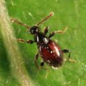 Ant-like Stone Beetle - Euconnus flavitarsis