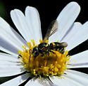 small wasp - Stelis louisae - female