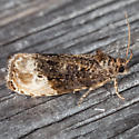 Green Budworm Moth - Hedya nubiferana