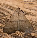Moth - Bleptina caradrinalis