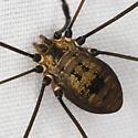 Leiobunum 2162 - Leiobunum nigropalpi
