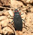 True bug - Melacoryphus rubicollis