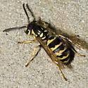 Species Vespula flavopilosa - Downy Yellowjacket - Vespula flavopilosa