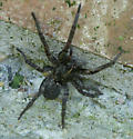Spider in North Central Texas - Tigrosa grandis
