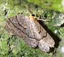 Hemlock Looper Moth  - Lambdina fiscellaria