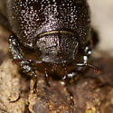 Rugose Stag Beetle - Sinodendron rugosum - female