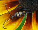 Six-spotted Flower Strangalia - Strangalia sexnotata - male