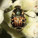 Scarabaeidae, Fruit and Flower Chafer, dorsal - Trichiotinus viridans