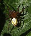 Unknown spider - Araniella displicata
