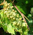galls - Daktulosphaira vitifoliae
