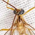 Ichneumon Wasp - Enicospilus purgatus - female