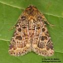 Synorthodes typhedana - Synorthodes auriginea - male
