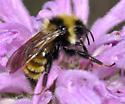 Bombus sp. on Monarda - Bombus insularis - male