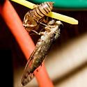 Hieroglyphic Cicada (Emerged) - Neocicada hieroglyphica