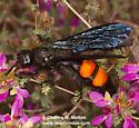 Campsomeris ephippium - Pygodasis ephippium - female