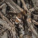 Large Banded fly - Ligyra gazophylax