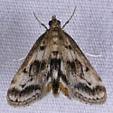 Obscure Pondweed Moth - Parapoynx obscuralis