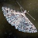 Small Feathery Moth - Alucita