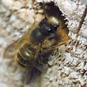 Japanese Hornfaced Bee - Osmia cornifrons - male
