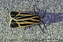 Moth; Harnessed Tiger Moth - Apantesis