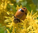 Convergent Lady Beetle (Hippodamia convergens)? - Hippodamia