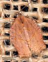 Moth - Archips purpurana