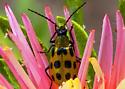 Spotted bug on Aster flower - Diabrotica undecimpunctata