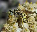 Philanthus multimaculatus? - Philanthus multimaculatus
