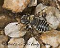 8008635 - Megachile petulans