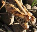 Grasshopper - Melanoplus devastator