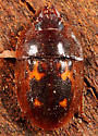 Coleoptera - Prometopia sexmaculata