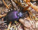 Coleopteran - Scaphinotus viduus