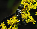 black and white wasp - Pseudodynerus quadrisectus