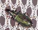Green Beetle for ID - Calleida viridipennis