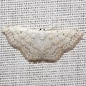 Dot-lined Wave Moth - Hodges #7122 - Idaea tacturata