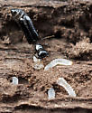 Micromalthus debilis  - Micromalthus debilis - female