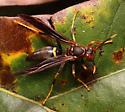 Paper Wasp - Polistes annularis
