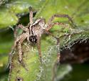 Lycosidae ID request - Rabidosa hentzi