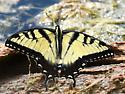 Eastern Swallowtail - Papilio glaucus