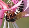 white faced pollinator - Philanthus ventilabris